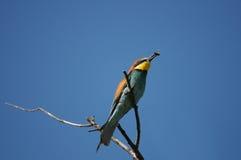 Europeisk Bi-ätare fågel (Meropsapiaster) royaltyfria foton