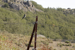 Europeisk bi-ätare Meropsapiaster royaltyfri foto