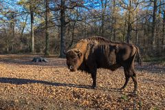 Europeisk Bison Royaltyfria Foton