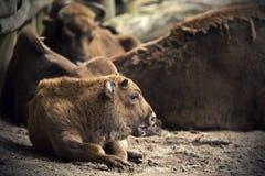 Europeisk Bison Arkivfoto