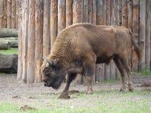 Europeisk Bison Arkivbild
