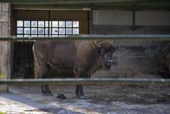Europeisk bison eller bisonbonasus arkivbild