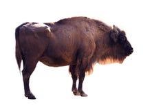 Europeisk bison. Isolerat på vit Arkivbilder