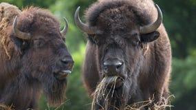 Europeisk bison - tjurar royaltyfria foton