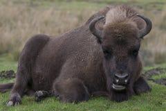 Europeisk bison, wisent, buffel som går och lägger plats arkivbilder
