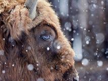 Europeisk bisonbisonbonasus i naturlig livsmiljö i vinter arkivbilder