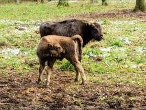 Europeisk bisonbisonbonasus, unga djur, aurochs i skogen arkivfoto