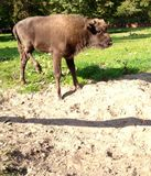 Europeisk bisonkalv Fotografering för Bildbyråer