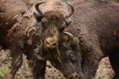 Europeisk bisonkamp för territorier i Tarcu berg Royaltyfria Bilder
