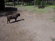 Europeisk bisonställning på sandig jordning i bilaga på staden av Pszczyna i Polen royaltyfri bild