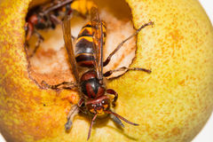 Europeisk bålgeting (vespaen Crabro) som äter ett moget gult päron Royaltyfri Fotografi