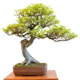 Europeisk bokträd som harmoniskt bonsaiträd royaltyfria foton