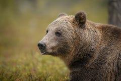 Europeisk brunbjörn i höstskog Arkivfoto