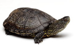 Europeisk dammsköldpadda Royaltyfria Bilder