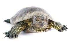 europeisk dammsköldpadda Arkivfoto