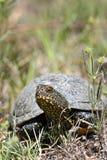 Europeisk dammsumpsköldpadda i naturlig livsmiljö arkivbilder