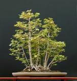 europeisk fältlönn för bonsai Arkivfoton