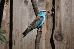 europeisk garrulusrulle för coracias fotografering för bildbyråer
