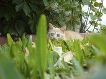Europeisk gemensam katt Royaltyfri Foto