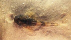 Europeisk gobio för bullheadfiskCottus lager videofilmer