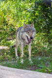 Europeisk grå varg (lupus för Canislupus) Arkivbild