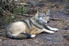 europeisk grå wolf Royaltyfri Foto