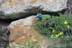 europeisk grön ödla Arkivfoton