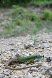 Europeisk grön ödla (Lacertaviridis) Royaltyfri Bild