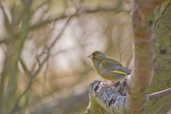 europeisk greenfinch Arkivbilder