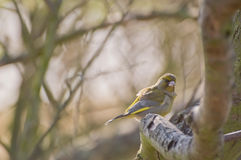 europeisk greenfinch Arkivbild