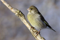 europeisk greenfinch Royaltyfria Foton