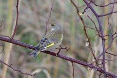 europeisk greenfinch Royaltyfri Fotografi