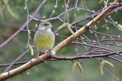 europeisk greenfinch Royaltyfri Foto