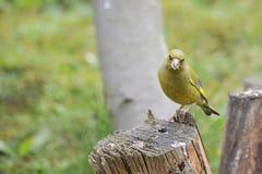 europeisk greenfinch Fotografering för Bildbyråer