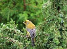 Europeisk greenfinch har frukosten i en Royaltyfria Foton