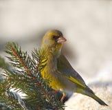 Europeisk greenfinch på en snöig filial Arkivfoto