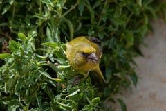europeisk greenfinch portugal royaltyfria bilder