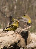 Europeisk greenfinch som konkurrerar för mat Fotografering för Bildbyråer