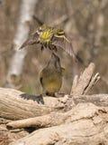 Europeisk greenfinch som konkurrerar för mat Arkivfoton