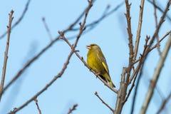 Europeisk greenfinch som sätta sig på, fattar mot klar blå himmel royaltyfria bilder