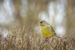 Europeisk greenfinchfågel på en buske i en trädgård fotografering för bildbyråer