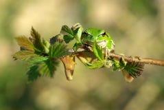 europeisk grodatree Royaltyfri Fotografi