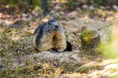 Europeisk groundhog namngav den Fjälläng murmeldjuret över naturlig bakgrund Royaltyfri Bild