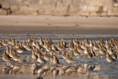 Europeisk guld- brockfågel Fotografering för Bildbyråer