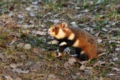 europeisk hamster Royaltyfria Bilder