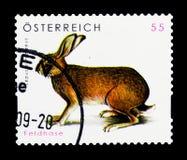 Europeisk hare (Lepuseuropaeusen), djurlivserie, circa 2008 Arkivfoto