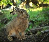 Europeisk hare på den Glaciars nationalparken Royaltyfri Foto