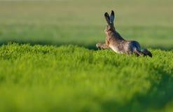 Europeisk hare som hoppar till och med grönt fält på aftonen royaltyfria foton
