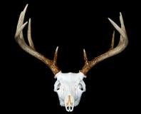 europeisk head montering för hjortar Royaltyfria Bilder