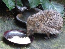 Europeisk igelkott som äter jordnötter - Erinaceuseuropaeus Royaltyfria Bilder
